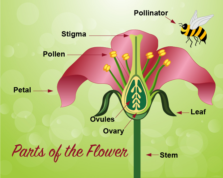 Parts of Flower Graphic