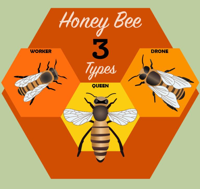 Types of honeybees